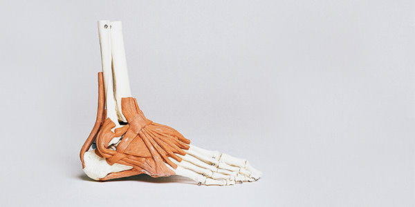An anatomical model of a human foot