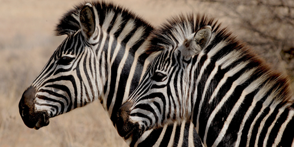 Two zebra spotted on safari